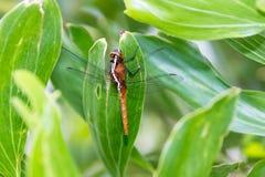 Hydrobasileus-croceus Brauer, Bernsteinfarbig-geflügelte Sumpflibelle stockfoto