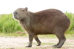 Hydrochaeris Hydrochaeris Capybara στοκ φωτογραφία με δικαίωμα ελεύθερης χρήσης