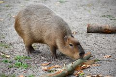 Hydrochaeris Linnaeus Hydrochoerus свиньи воды капибары грызут расшиву ветви Стоковая Фотография