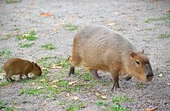 Hydrochaeris Linnaeus Hydrochoerus свиньи воды капибары с новичком Стоковые Изображения RF