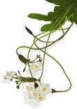 Hydrocharitaceae Arkivfoto