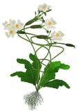 Hydrocharitaceae Stock Photos