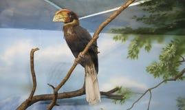 Hydrocorax Rufous del Buceros del bucero, bucero filippino, kalaw-- è le grandi specie di bucero Immagine Stock