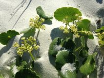 Hydrocotyle Bonariensis (Largeleaf Pennywort) Plant Blossoming in Sand Dunes. Royalty Free Stock Photography
