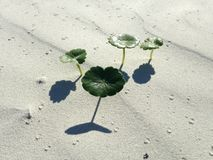 Hydrocotyle Bonariensis (Largeleaf Pennywort) Plant Growing in Sand Dunes. Royalty Free Stock Images