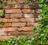 Hydrocotyle on the Brick background Stock Photography
