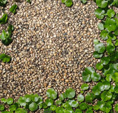 Hydrocotyle on the Bronw Cement background Royalty Free Stock Photo