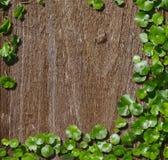 Hydrocotyle on the old wood background Stock Photo