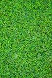 Hydrocotyle sibthorpioides Lamk. Royalty Free Stock Images