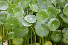 Hydrocotyle umbellata plant in nature garden Royalty Free Stock Photography