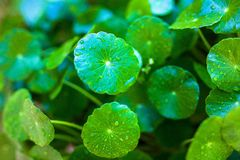 Hydrocotyle umbellata Royalty Free Stock Photography