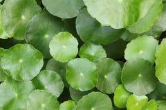 Hydrocotyle Umbellata Stock Images
