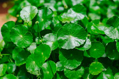 Hydrocotyle umbellate Royalty Free Stock Images
