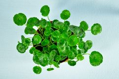Hydrocotyle vulgaris Royalty Free Stock Photos