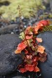 Hydrocotyle vulgaris - bagno wąkrota zdjęcie royalty free