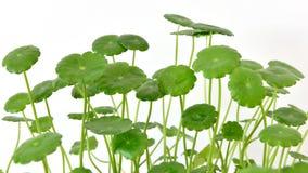 Hydrocotyle vulgaris Stock Photo