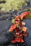 Hydrocotyle vulgaris - Marsh Pennywort. Rare plant, found at the Vatnajokull National Park, nearby the glacier Skaftafellsjokull in Iceland Royalty Free Stock Photo