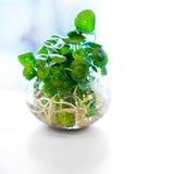 Hydroculture plant on glass Stock Photo