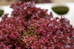 Hydroculture vermelho da alface de folha Foto de Stock
