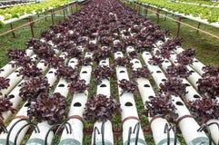Hydrocultuur purpere groente in kleine tuin royalty-vrije stock foto's