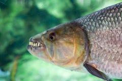Hydrocynus vittatus、非洲tigerfish、tiervis或者ngwesh分类 免版税库存图片