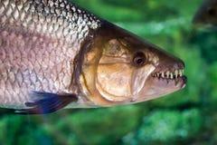 Hydrocynus vittatus、非洲tigerfish、tiervis或者ngwesh分类 图库摄影