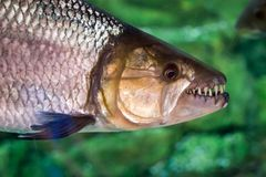 Hydrocynus vittatus, the African tigerfish, tiervis or ngwesh cl