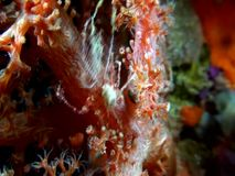 Hydroid decorator crab  carrying some tips of the hydroid Indonesia stock video