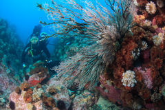 Hydroids under water in sea of japan and diver Stock Photo