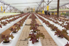 Hydrokulturgrönsak Arkivfoton