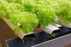 Hydrokulturgrönsak Arkivbild