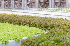Hydrokulturväxthus Organisk grön grönsaksallad i hydrokulturlantgård fotografering för bildbyråer