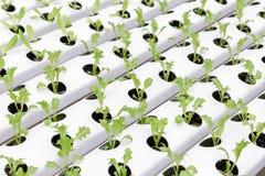 Hydrokulturväxthus Organisk grön grönsaksallad i hydrokulturlantgård arkivfoton