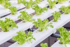 Hydrokulturväxthus Organisk grönsaksallad i hydrokulturlantgården för hälso-, mat- och jordbrukbegreppsdesign arkivbilder