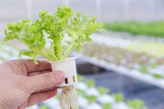 Hydrokulturväxthus Organisk grönsaksallad i hydrokulturlantgården för hälso-, mat- och jordbrukbegreppsdesign royaltyfri bild