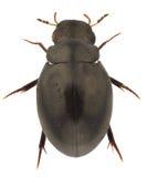 Hydrophilidae. Specimen of Hydrophilidae isolated on white background stock photo