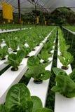 hydrophonic种植园 免版税库存图片