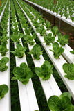 Hydrophonic Plantation Royalty Free Stock Photo