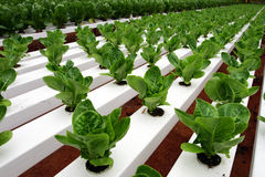 Hydrophonic Plantation Stock Image