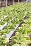 Hydrophonic Plantation. The farm in phetchaboon thailand Royalty Free Stock Photo