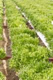 Hydrophonic Plantation. The farm in phetchaboon thailand Royalty Free Stock Photography