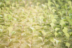 Hydrophonic plantation of vegetable salad Royalty Free Stock Photo