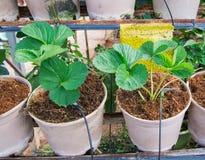 Hydroponic засаживать овоща Стоковые Фотографии RF