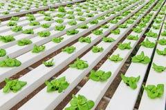 Hydroponic засаживать овоща Стоковая Фотография RF