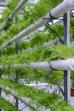 hydroponic овощи Стоковое фото RF
