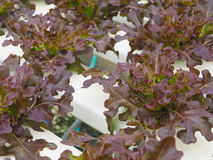 Hydroponic овощ в ферме Стоковая Фотография RF