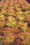 Hydroponic овощ салата Стоковые Изображения RF