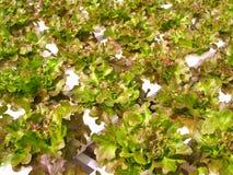 hydroponic овощ 01 Стоковое Изображение