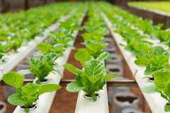 Hydroponic овощ Стоковая Фотография RF