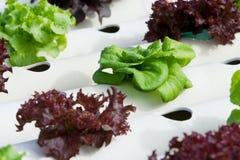 hydroponic овощ Стоковое Изображение RF